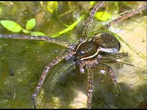 Spiders that hunt and eat fish