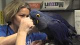 How to take a hyacinth macaw's heartbeat