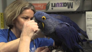 How to take a hyacinth macaw's heartbeat