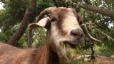 The Goat Brigade: Preventing Wildfires in Southern California