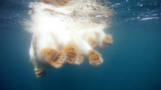 The Quest for Sea Ice: Swimming with polar bears and a camera