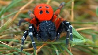 Ladybird spiders (Eresus sandaliatus)