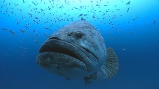 Photographer Swims With Huge Goliath Groupers