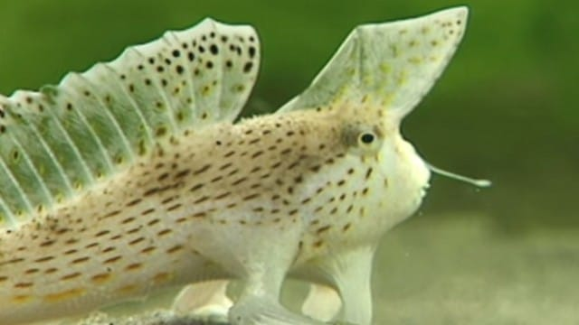 Fish that walk – Tasmania's Spotted Handfish