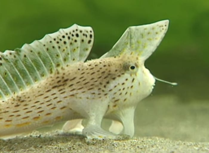 [Image: spottedhandfish.jpg]