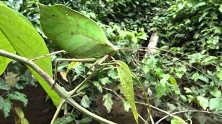 The Leaf Mimic Katydid