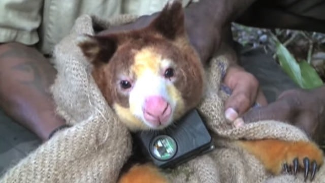 Outfitting Tree Kangaroos with tiny video cameras
