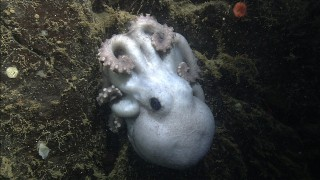 A deep-sea octopus that protects her eggs for four & a half years