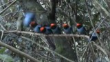 Male Blue Manakins wait in line to impress a female