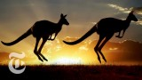 ScienceTake: For Kangaroos, Tail Becomes a Fifth Leg