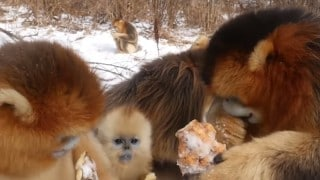 Feasting & squeaking: Golden snub-nosed monkeys in the snow