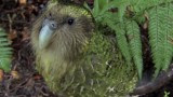 The Kakapo: The world's only flightless parrot is a very rare bird