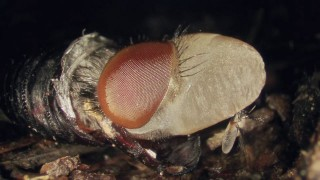 Maggot to Fly Time Lapse Transformation
