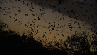 The Bat Emergence at Bracken Cave in the Texas Hill Country
