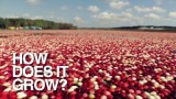 Cranberries: How Does It Grow?