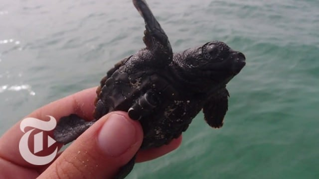 Tagging Tiny Turtle Hatchlings – ScienceTake