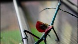 The brightly-colored Achrioptera fallax
