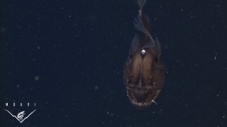 The elusive Black Seadevil Anglerfish: Rare video footage by MBARI