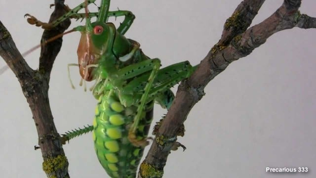 The Giant Texas Katydid (Neobarrettia spinosa)
