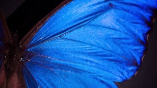 Deep Look: What Gives the Morpho Butterfly Its Magnificent Blue?