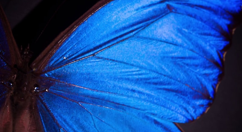 What Gives the Morpho Butterfly Its Magnificent Blue? – Deep Look