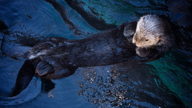 Deep Look: The Fantastic Fur of Sea Otters