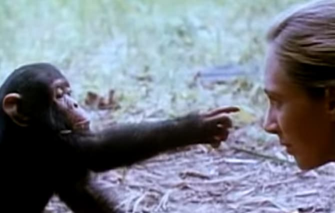 Jane Goodall With Baby Chimps