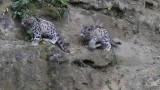Zoo Zürich's Snow Leopard twins: Orya and Okara