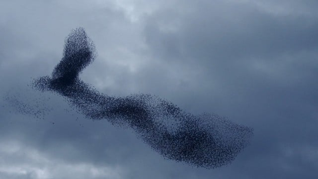 Wonders in the Sky: A murmuration of starlings in slow motion