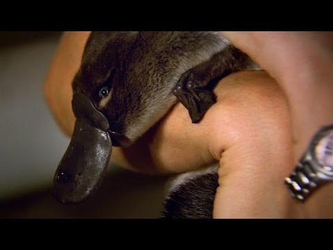 Rare baby platypus footage + a closer look at monotremes