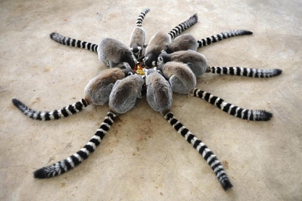 baby ring tailed lemurs cling to their mother in
