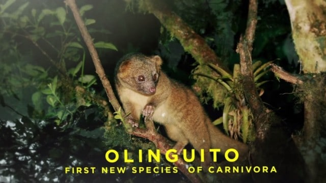 AMNH: Shelf Life – Skull of the Olinguito