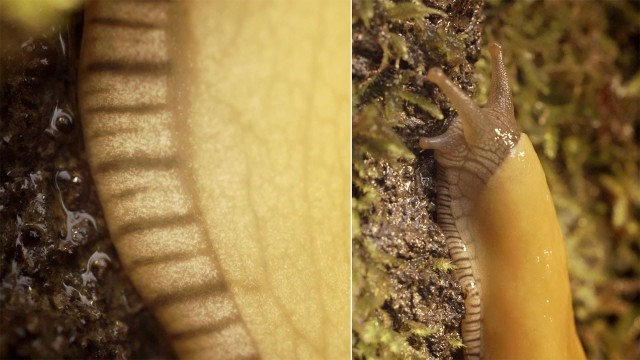 Deep Look: Banana Slugs and Secret of the Slime