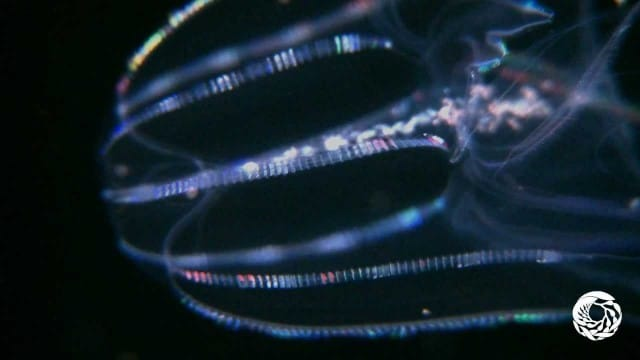 Four jellies that diffract rainbow light like iridescent spaceships