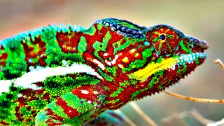 Veritasium: How (and Why) Do Chameleons Change Color?