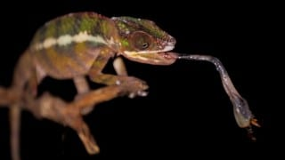Chameleon Tongue Attack in Slow Motion – Earth Unplugged