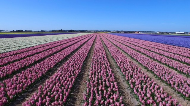 Flying a drone over Holland's colorful patchwork quilt of flowers