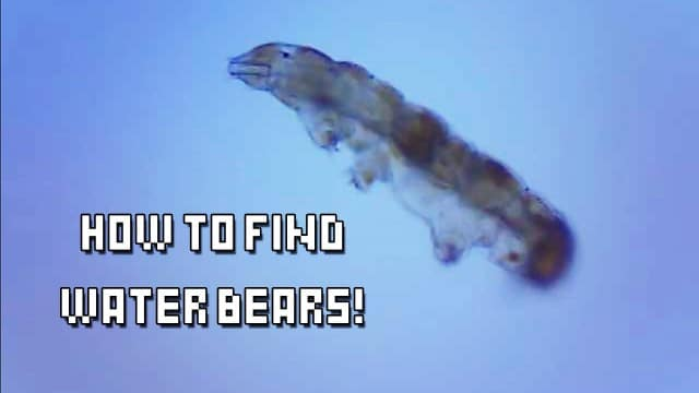 How do you find water bears (tardigrades) in the wild?
