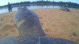Critter cams on a Giant River Turtle's back & a manatee's peduncle