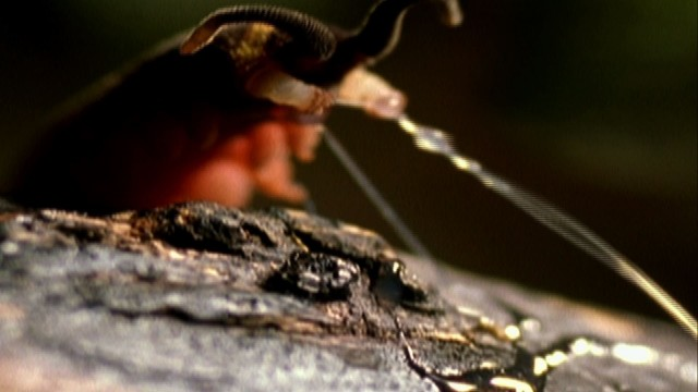 Slime Cannon Attack – How Velvet Worm slime jets work