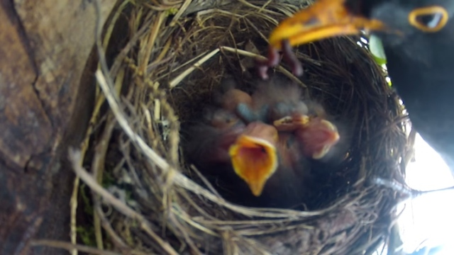 A mother blackbird feeds brand new baby birds in their nest