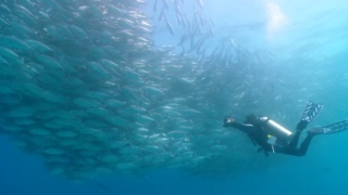 Underwater Bigeye trevally fish tornado in Baja California Sur