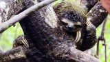 The Pygmy Sloths of Isla Escudo de Veraguas