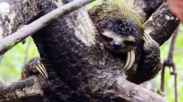 The Pygmy Sloths of Isla Escudo de Veraguas