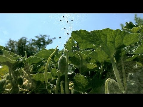 Exploding plants disperse their seeds with high pressure bursts
