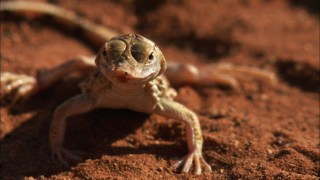 How sand swimming shovel-snouted lizards stay cool in the Namib Desert