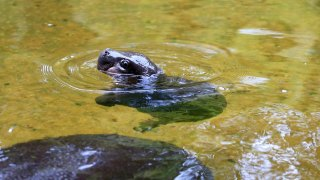 The Melbourne Zoo's new baby Pygmy Hippo swims with mum
