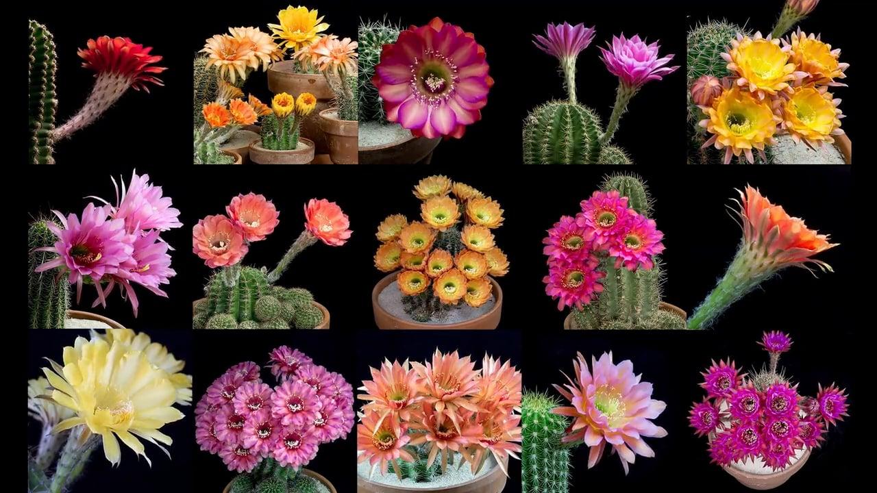 no Cactus blooming,SIZE Echinopsis cv INTRIQUE PLANT Trichocereus