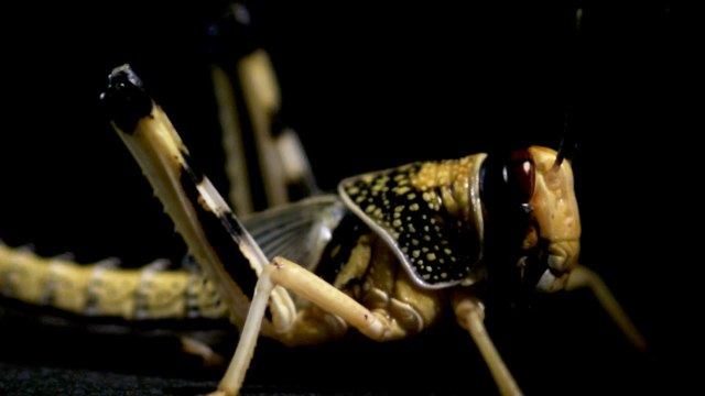 Epic Catapulting Locust In Slow Motion – Earth Unplugged