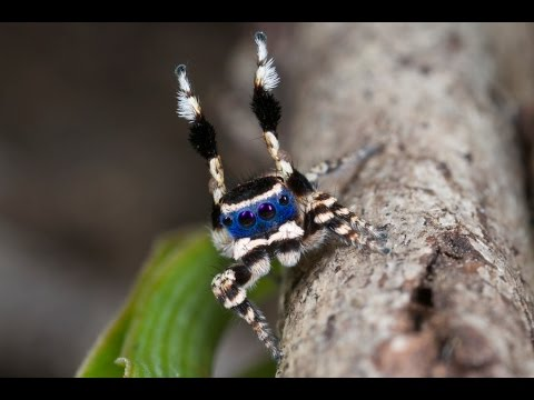 This blue masked peacock spider is tiny & adorable